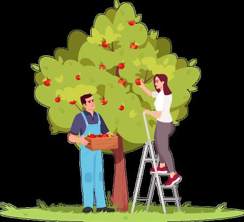 Collecting apple crop Illustration