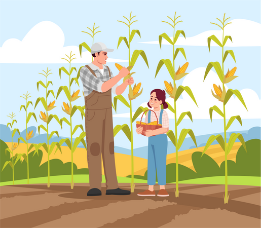 Collecting corn harvest Illustration
