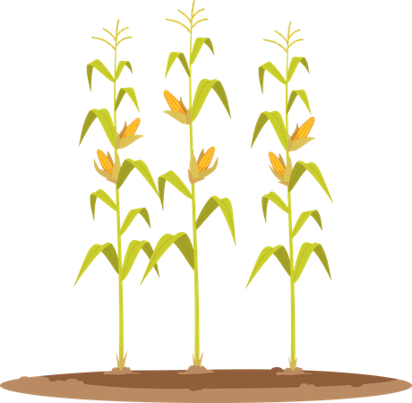 Corn Grain Crop Illustration