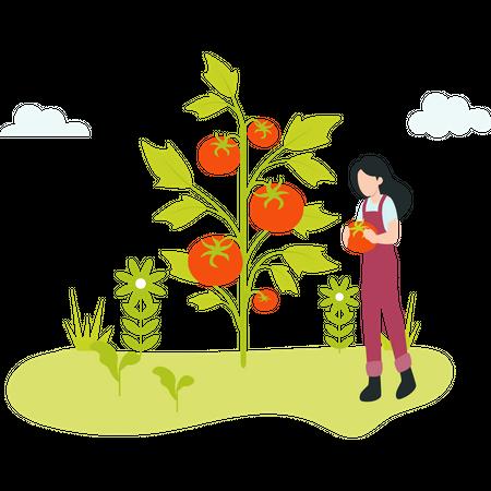 Female Farmer gathering ripe tomato Illustration