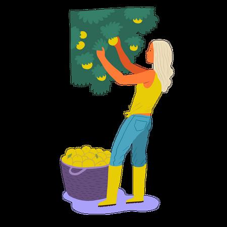 Girl gathering mangos in basket Illustration
