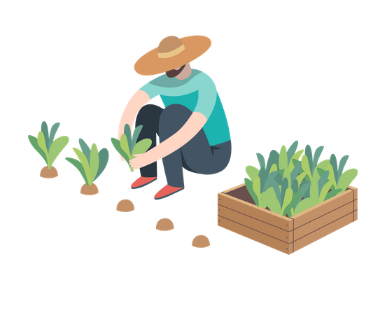 Man wearing straw hat sitting on the ground in the squatting position gathering in ripe salad to the wooden box Illustration