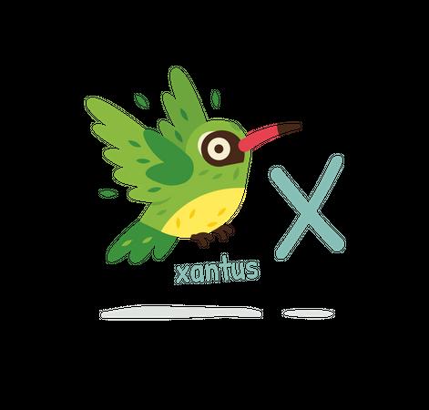 Xantus Illustration